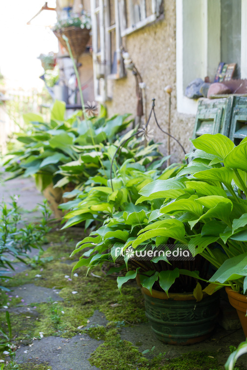 Plantain lilies in pots (108381)