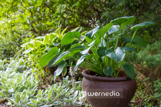 Plantain lilies in pots (108383)