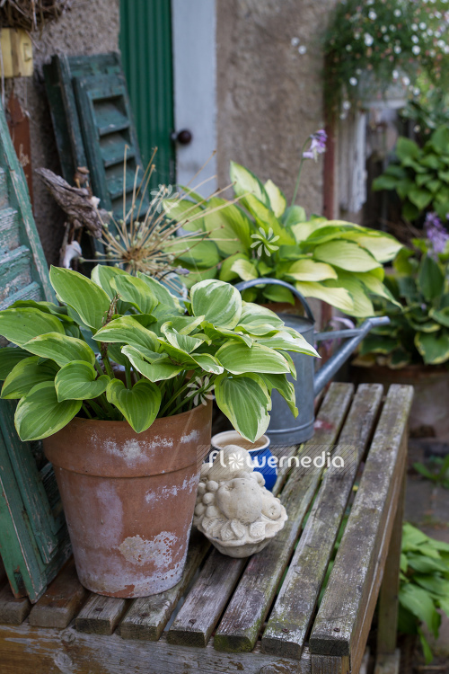 Plantain lilies in pots (108387)