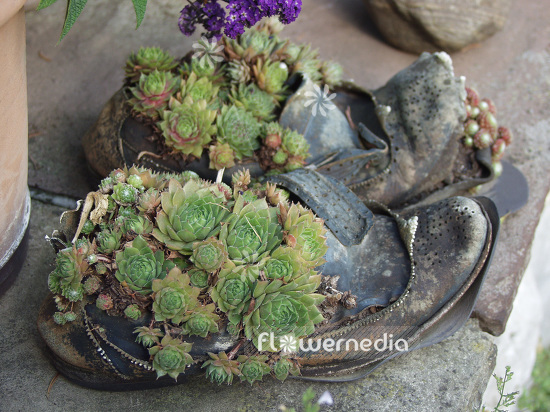 Planted shoes with Sempervivum (102147)