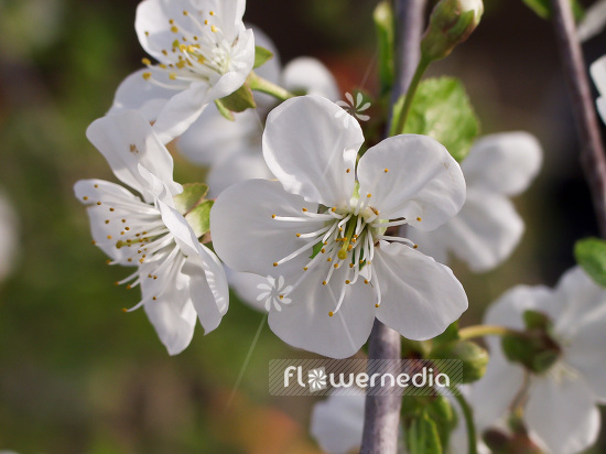 Prunus cerasus - Sour cherry (101603)