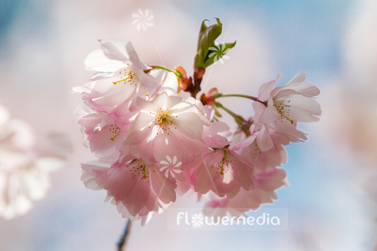 Prunus serrulata - Japanese cherry (105681)