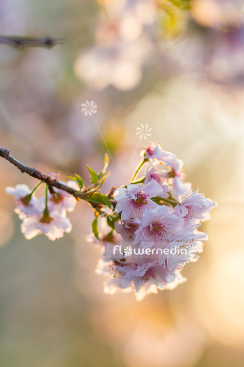 Prunus serrulata - Japanese cherry (105682)