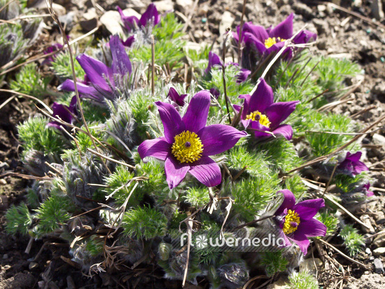 Pulsatilla vulgaris - Pasque flower (102098)