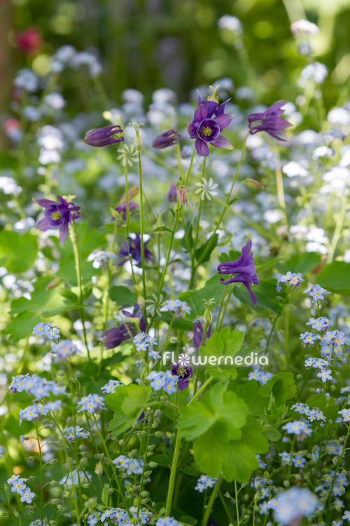 Purple flowering columbines (112710)