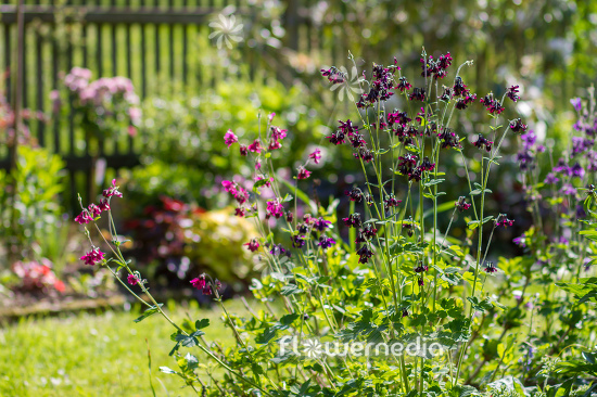 Purple flowering columbines (112774)