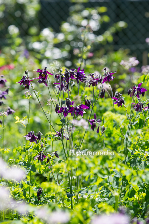 Purple flowering columbines (112776)