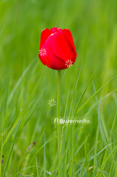 Red-flowered Tulip (106325)