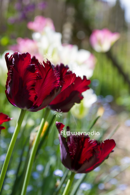 Red-flowered Tulips (106301)