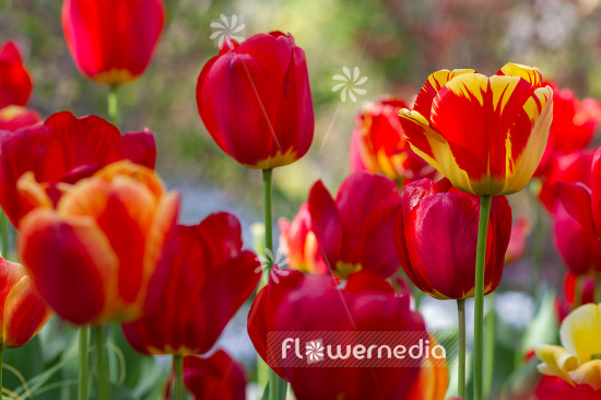 Red-flowered Tulips (106326)