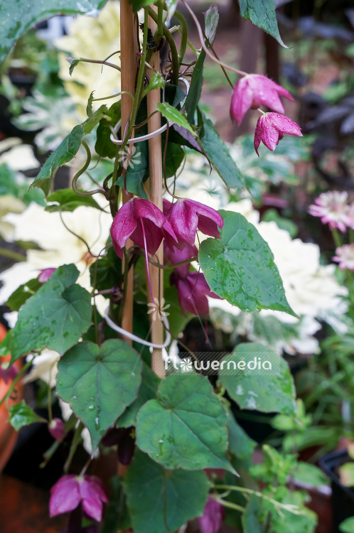 Rhodochiton atrosanguineus - Purple bell vine (111305)