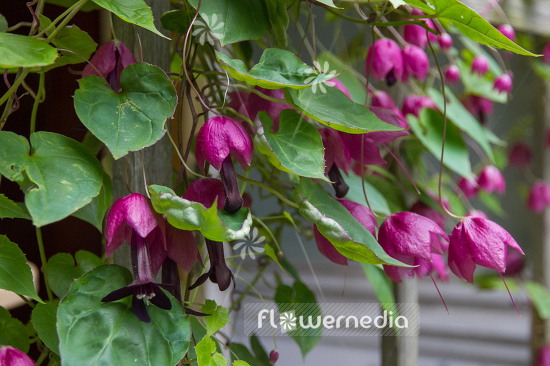 Rhodochiton atrosanguineus - Purple bell vine (111306)