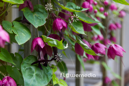 Rhodochiton atrosanguineus - Purple bell vine (111307)