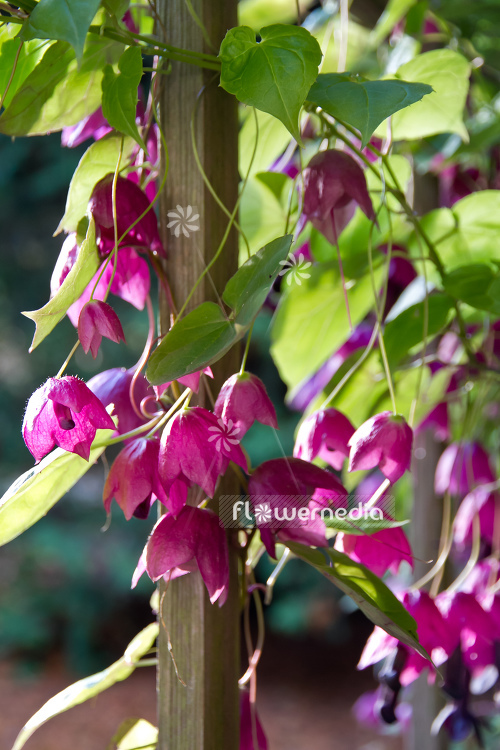 Rhodochiton atrosanguineus - Purple bell vine (111311)