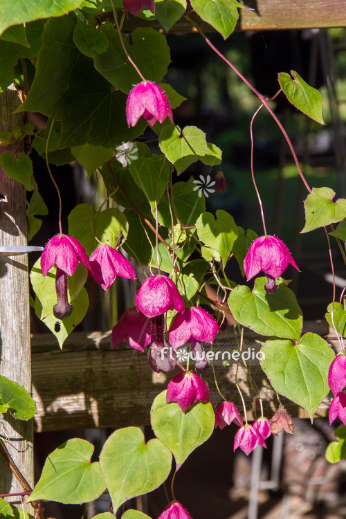Rhodochiton atrosanguineus - Purple bell vine (111312)