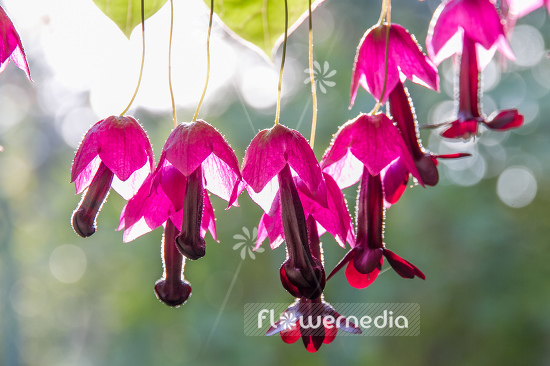 Rhodochiton atrosanguineus - Purple bell vine (111682)