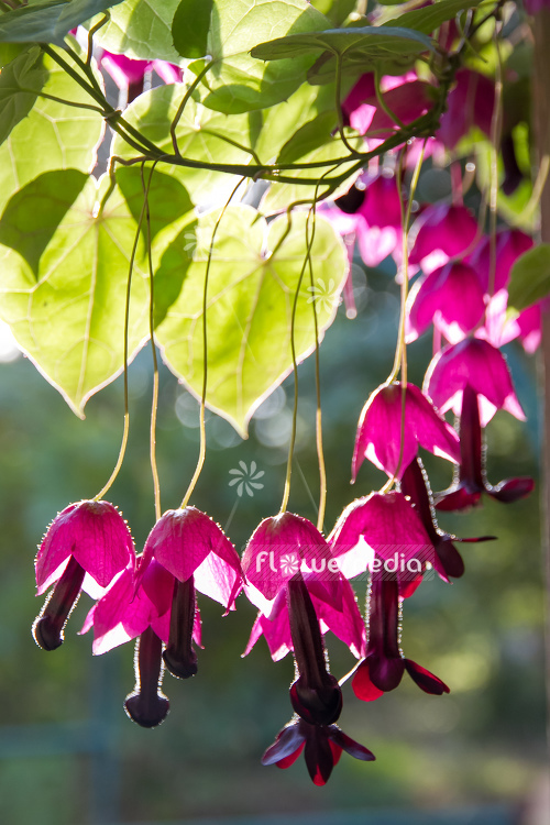 Rhodochiton atrosanguineus - Purple bell vine (111683)