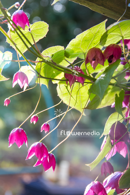 Rhodochiton atrosanguineus - Purple bell vine (111684)