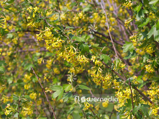 Ribes aureum buffalo currant 101667 flowermedia photos and pictures of flowers and plants gardens and gardening mightylinksfo