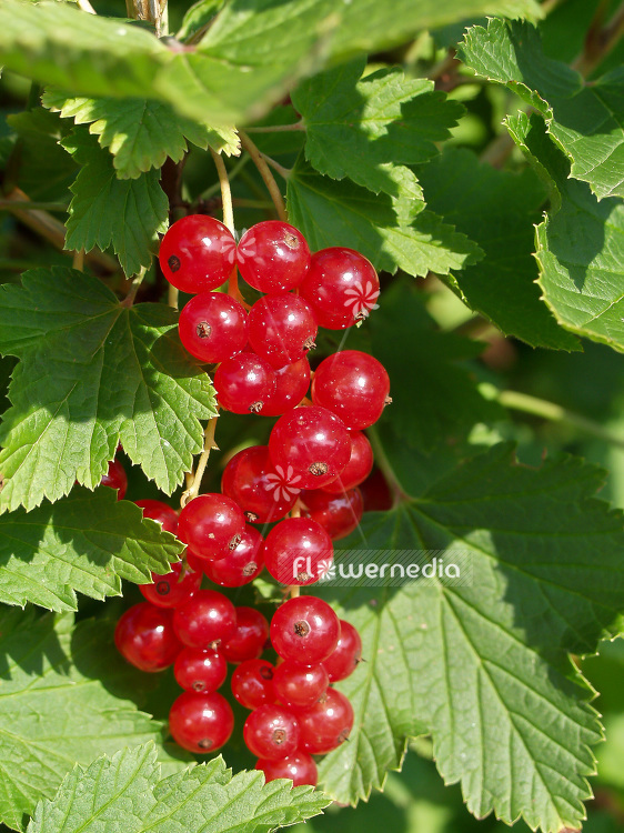Ribes rubrum - Redcurrant (101668)