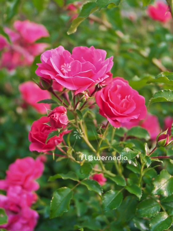 rose aachener dom