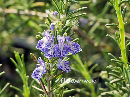 Rosmarinus officinalis 'Blue Lagoon' - Rosemary (107709)