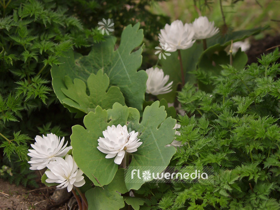 Sanguinaria canadensis f. multiplex 'Plena' - Double red puccoon (105714)