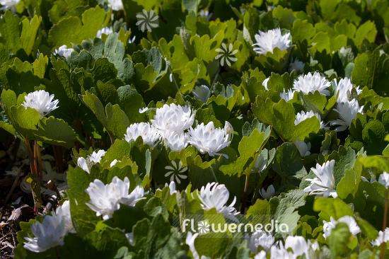 Sanguinaria canadensis f. multiplex 'Plena' - Double red puccoon (105738)