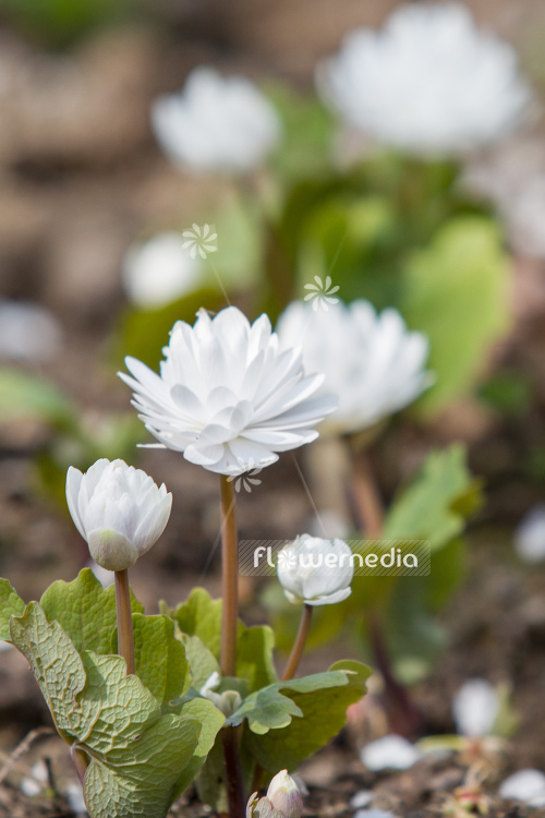 Sanguinaria canadensis f. multiplex 'Plena' - Double red puccoon (105759)