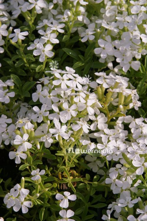 Saponaria ocymoides snow tip white rock soapwort 104804 saponaria ocymoides snow tip white rock soapwort 104804 flowermedia mightylinksfo