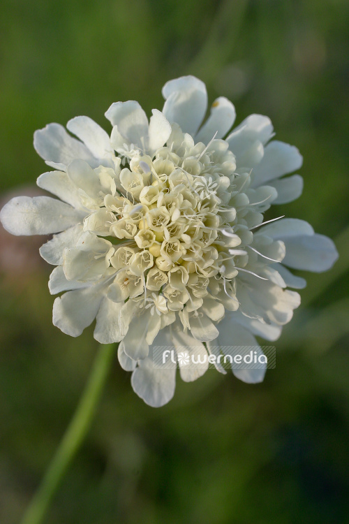 Flowermedia Scabiosa