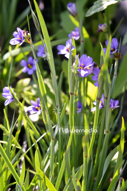 Sisyrinchium angustifolium - Narrowleaf blue-eyed grass (101944)