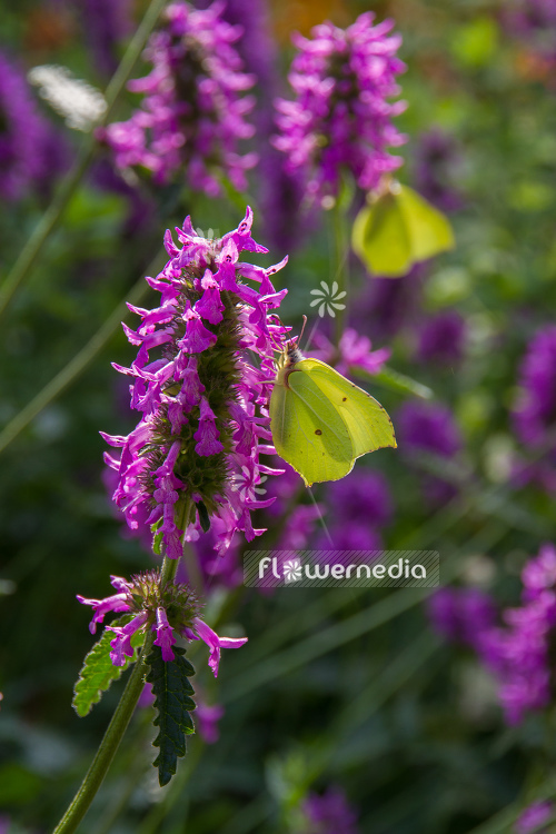 Stachys officinalis - Betony (104926)