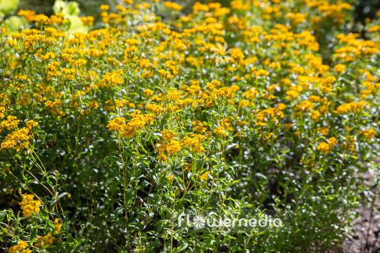 Tagetes lucida - Mexican mint marigold (111356)