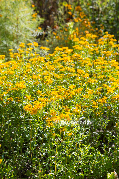 Tagetes lucida - Mexican mint marigold (111357)