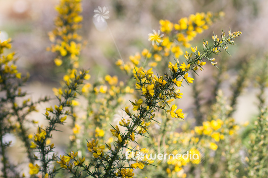 Ulex europaeus - Common Gorse (105118)