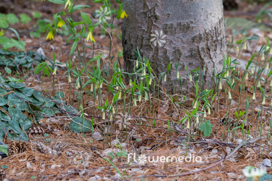 Uvularia sessilifolia - Sessile bellwort (109654)