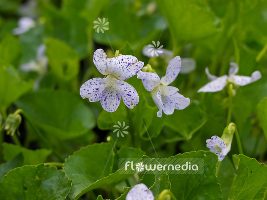 Viola sororia 'Freckles' - Spotted woolly blue violet (102058)