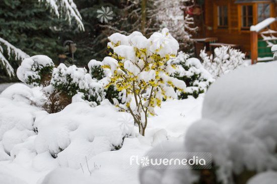 Witch hazel in snow (108239)