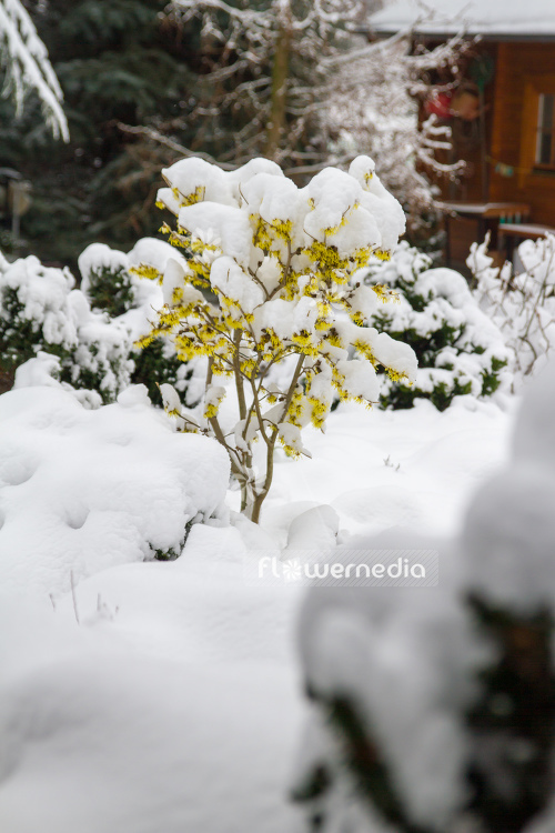 Witch hazel in snow (108240)