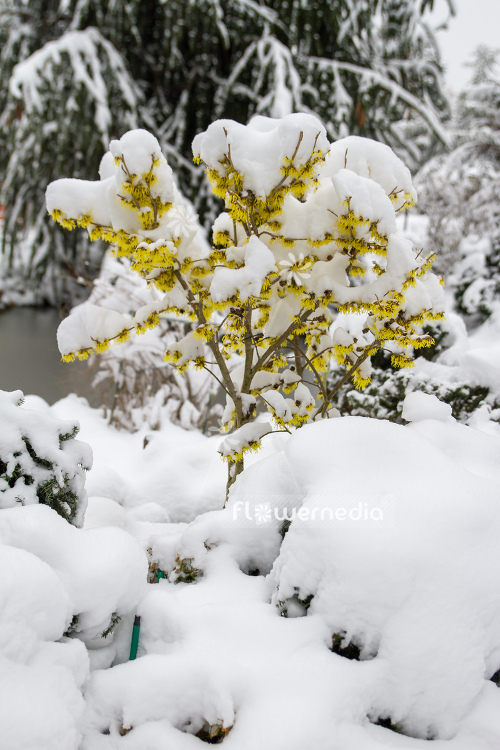 Witch hazel in snow (108241)