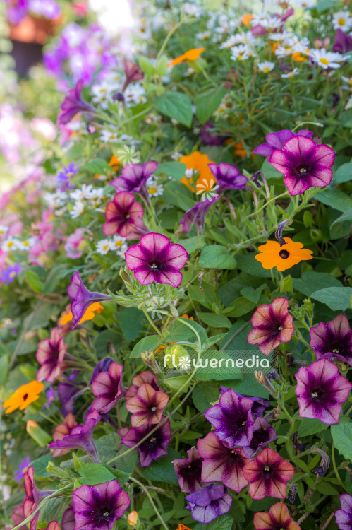 Wonderful petunias (111710)