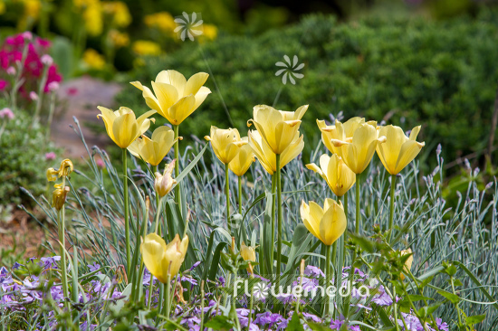 Yellow tulips in flower bed. (106232)