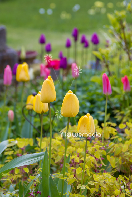 Yellow tulips in flower bed. (106234)
