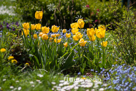 Yellow tulips in flower bed. (106235)
