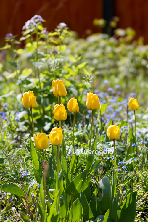 Yellow tulips in flower bed. (106238)