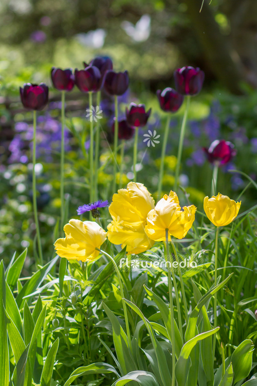 Yellow tulips in flower bed. (106239)