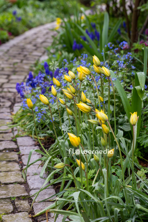 Yellow tulips in flower bed (106348)
