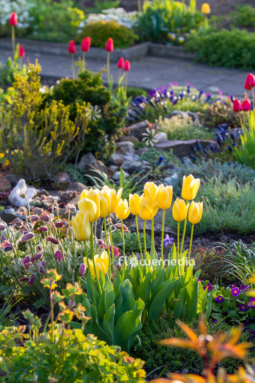 Yellow tulips in flower bed (106349)