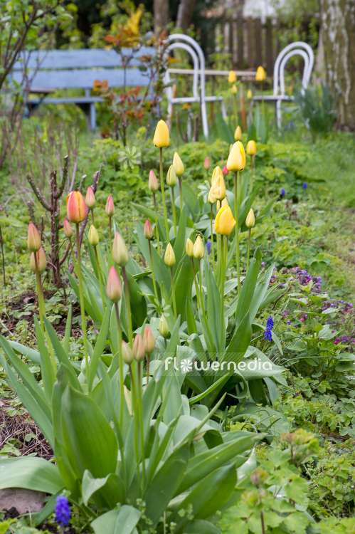 Yellow tulips in flower bed (106350)